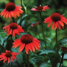 Big Sky™ Sundown - Coneflower - Echinacea. A bright orange perennial that is hardy in Zones 4-9.
