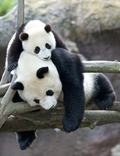 Bai Yun with her son Xiao Liwu at the San Diego Zoo on May 9, 2013. © Rita Petita.