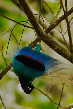 The blue bird-of-paradise (Paradisaea rudolphi) is regarded by some ornithologists as the loveliest of all birds.