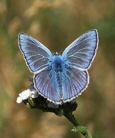 Blauwtje, 21-7-2017. Foto en tekst: Frans van Neer A Bug's Life, Butterflies Flying, Beautiful Bugs, Cute Butterfly, Animal Kingdom, Moth, Photography, Dragonflies, Rebel