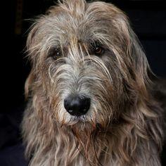 trendy dogs and puppies breeds irish wolfhounds Big Dogs, I Love Dogs, Cute Dogs, Dogs And Puppies, Corgi Puppies, Beautiful Dogs, Animals Beautiful, Cute Animals, Scottish Deerhound