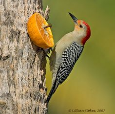 Red-bellied Woodpecker, the Orange Juice Woodpecker! by Lillian Stokes