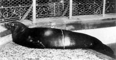 "Dec. 28, 1973 | 43 years ago, the Endangered Species Act was signed on this day. Captive Caribbean Monk Seal, Monachus tropicalis, at the New York Aquarium, ca.1910. It remains the only mammal in the first class of listed species to have gone extinct. Many on the original list remain endangered, but others have been moved to ""threatened"" status or removed from the list entirely."