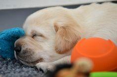 Sweet little yellow lab puppy <3