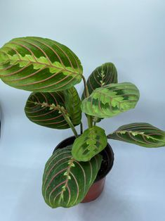 Live Red Maranta Prayer Plant Maranta | Etsy Prayer Plant, Calathea, Plants Online, New Home Designs, Lemon Lime, New Leaf, Live Plants, Plant Care, Indoor Plants