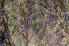 Blåmeis / Blue Tit by Sigurd Rage on 500px