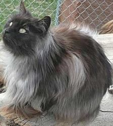 Rosie ~PUREBRED MAINECOON~ is an adoptable Maine Coon Cat in Billings, MT. I am 5 years old current on vaccinations, rabies, distemper, dewormed