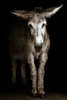 Her name is Dusty Rose from the Donkey Sanctuary of Canada (www.thedonkeysanctuary.ca).