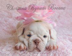 White bulldog awake with pink flower