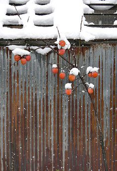 Persimmons in the snow
