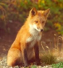 It may sound wierd, but I want a pet fox. :)