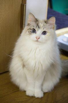 fleecy ~ beautiful cat