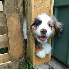 Seriously, stay away from Australian shepherds! | 17 Reasons Australian Shepherds Are The Worst Possible Breed Of Dog You Could Adopt #AustralianShepherd