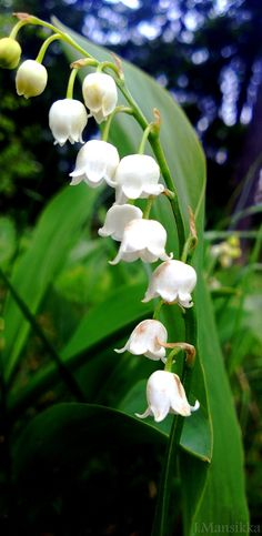 "Finnish national flower ""kielo"" (Swe: liljekonvalj, Eng: lily-of-the-valley, Lat: convallaria majalis) White Flowers, Beautiful Flowers, Scandinavian Countries, Thinking Day, Lily Of The Valley, Culture, Helsinki, Flower Art, Garden Design"