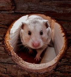 Hamsters are active little creatures that need to exercise every day. You cannot let them run around the house, but you can provide them with toys. Animals And Pets, Funny Animals, Cute Animals, Hamster Pics, Hamster Accessories, Kids Songs, Funny Animal Pictures, Dog Photos, Cuddling