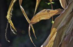 Corn stalk detail; shadow;  Chestnut Hill Street Fair; Philadelphia, Pennsylvania, USA.  October 2014.
