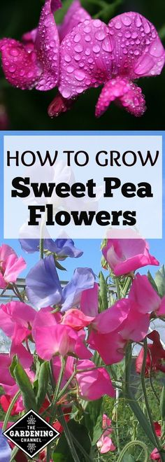 Known for its delightful fragrance, Sweet pea (Lathyrus odorata) is a delicate flower that will add color an charm to your landscape. Blooms in shades of red, pink, blue, purple, and white.