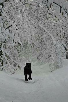 Black #cane #corso in the snow