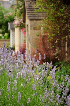English Country Cottage .... beautiful lavender