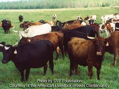 Florida Cracker Cattle; One of the olden breeds of cattle in the United States and now is threatened with extinction.  Visit the ALBC today to help.
