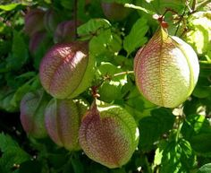 An exciting combination of beautiful leaves, distinctive pods, and attractive…