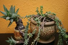"With their striking architectural forms and varying shades of green, succulents make a refreshing addition to the indoor garden. Though they possess a reputation of being fussy and hard to care for indoors, they're actually easy to grow as houseplants.""Succulents make some of the best houseplants,"" says Marianne Hugo, an indoor gardener who creates succulent [...]"
