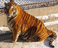 Piling on the pounds: The images show some rather tubby Siberian Tigers lolling around at ...