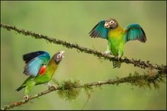 Brown-hooded Parrots (Pyrilia haematotis) displaying in Costa Rica by Chris Jimenez