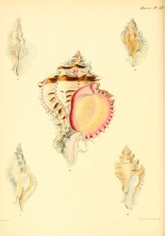 v. 3 (1845) - Conchologia iconica, or, Illustrations of the shells of molluscous animals / - Biodiversity Heritage Library