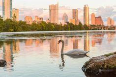 Swan on Town Lake
