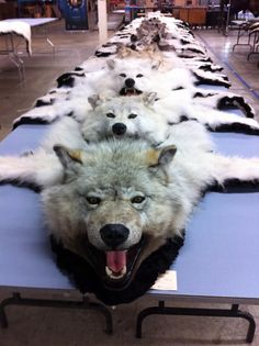 An advocate has obtained several photos taken inside this auction, showing the skins of the trapped animals. Fetishism of dead bodies, this is necrophilia. Kill to obtain material for your fetish, this is murder, this is a crime, this is what serial killers do. Sick and cruel people should not be free to impose their disease to the world.