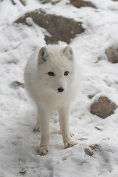 Arctic Fox!!! These animals are the most adorable spieces out,there! I,probabky just spelled that wrong!
