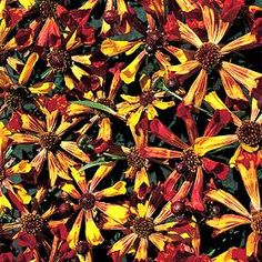 Check out the deal on Coreopsis Quills and Thrills 20 seeds at Hazzard's Home Gardener Perennial Vegetables, Ornamental Grasses, Flower Farm, Oeuvre D'art, Quilling, Perennials, Seeds, Shapes, Flowers