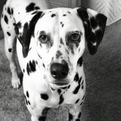 And here is my Dalmatian, Luna ❤