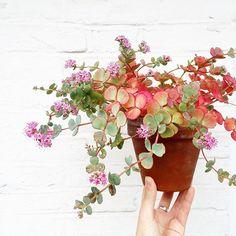 J'ai retrouvé mon sedum sieboldii paré de feu et de fleurs  #sedumsieboldii #sedum #succulents #legangdesplantes #plantsofinstagram