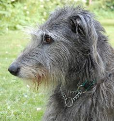 Scottish deerhound. Wouldn't mind having a few of these, too.