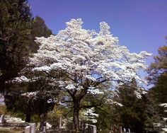 Gorgeous Dogwood tree in the historic Decatur cemetery