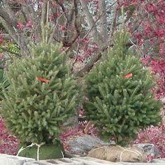 How to Plant a Christmas Tree #stepbystep