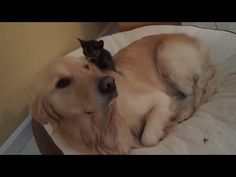 Silly Foster Kitten Trying To Lick Dog's Eye - 3 Weeks Old - Golden Retriever - YouTube