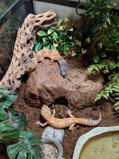 What type of Morphs are my Geckos? Leopard Gecko Cage, Leopard Gecko Terrarium, Lepord Gecko, Leopard Gecko Habitat, Cute Lizard, Cute Gecko, Reptile Habitat, Reptile Room, Cute Reptiles