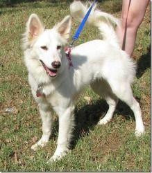 Belle--White German Shepherd Dog