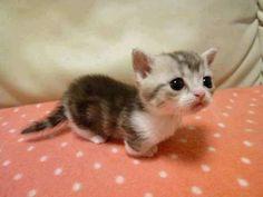 Les chats de la race munchkins sont les plus mignons du monde