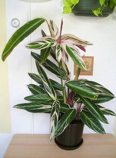 Ктенанта — крокодиловый лист.  Растения, в зависимости от сорта, могут достигать в высоту от 60 см до 1 м. Основное достоинство растений этого семейства — необычайно красивые, оригинальные и очень разнообразные по окраске листья. Некоторые имеют довольно строгий геометрический рисунок, редкий среди растений. На ровном фоне от светлого (почти белого) до темно-зеленого эффектно выделяются треугольные, овальные пятна, полосы, изредка сочетающиеся с выступающими розовыми или белыми жилками…