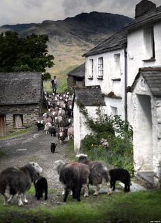 Herdwick sheep http://www.aboutbritain.com/articles/lake-district-national-park.asp