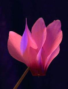 Cyclamen-  One of the beautiful head notes in our fragrance When we kiss...