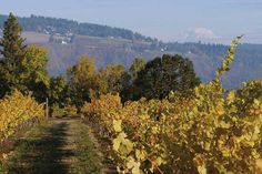 The extraordinary microclimate of the Columbia Gorge allows almost every variety of grape to ripen to perfection within 25 miles of Cathedral Ridge Winery. Dundee Oregon, Wine Press, Wine Tourism, Willamette Valley, Columbia River Gorge, Oregon Travel, Wine And Spirits, Stunningly Beautiful