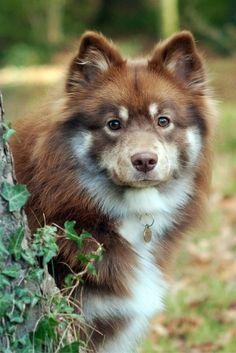 Finnish Lapphund @KaufmannsPuppy