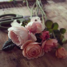 David Austin roses from Love 'n Fresh Flowers farm