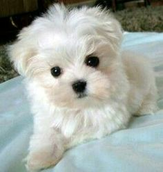 Cute puppies Oulik hondjies