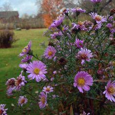 Höstens sista blommor i Fogelberg.